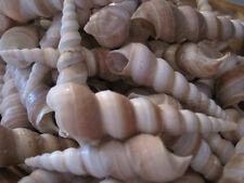 Seashells - Purple Turritella (10) Shells- Seashell Supply - Craft seashells