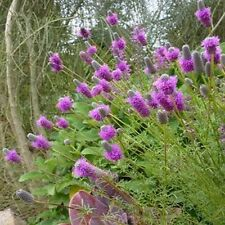 Clover- Prairie Purple- Dalea Purpurea-     500  Seeds -