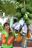 PREMIUM SEEDS WITH THAI HOLLAND SWEET PAPAYA  30 Seeds + Delivery
