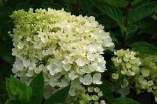Hydrangea Plant Shrubs & Hedges