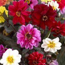 FLOWER DAHLIA RED SKIN MIXED  2.5 GRAM ~ APPROX 300 FINEST SEEDS