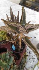 Kalanchoe daigremontiana planta en maceta 8'5 cms suculentas crasas NO HIBRIDO