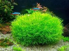 Riccia Fluitans Mini Tissue Culture Cup Live Aquarium Plants Carpet Fish Tank