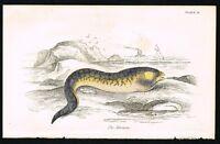 1850 Murana Fish Marine Sea Life - Hand-Colored Engraving Print Jardine