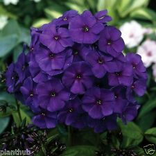 Flower Seed PHLOX - Hybrid Dwarf Twinkle Mixed Colour Seed - Pack of 100 Seeds