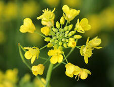 Seeds Mustard Yellow Flower Herb Wild Annual Garden Organic Heirloom Ukraine