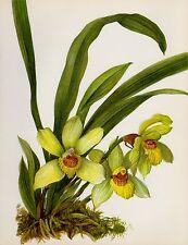 Lovely Vintage ORCHID Print Botanical Flower Print Cottage Decor Pescatorea 1729
