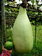 Giant Bottle Tribal Gourd Seeds Calabash Lagenaria Siceraria Organic Vegetable