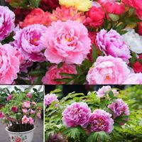 50 gemischte Farbe Doppelpfingstrosen Samen Pflanze Balkon Garten-Bonsai Blume