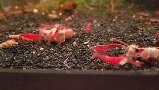 10 + 2 USA Bred Super Red Cherry Shrimp Neocaridina Juvies Beginner Freshwater