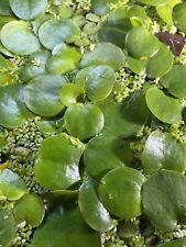 7+ Amazon Frogbit (Live Aquatic Floating Aquarium Plants)