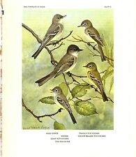 """1960 Vintage """"PHOEBE, WOOD PEWEE, and 3 FLYCATCHERS"""" by SUTTON Lithograph 51"""