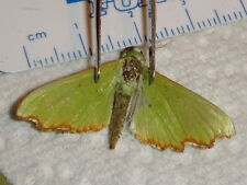 Lepidoptera Amazing GREEN Moth species Philippines #3660-1 Butterfly Collection