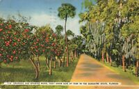 Postcard Oranges and Spanish Moss Grow Side by Side in Florida