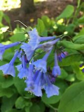 5 Virginia Bluebells Mertensia Virginica PREMIUM Blue Bell WILDFLOWER BULB ROOT