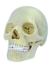 EXPLODED SKULL ANATOMY MODEL / PUZZLE, 4D Kit #26086 TEDCO SCIENCE TOYS