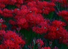 RED Spider Lily-- set of 10 bulbs EASY TO GROW