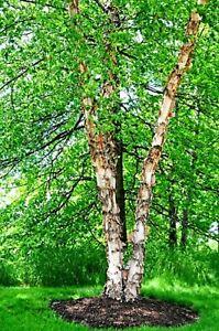 Betula nigra RIVER BIRCH Tree Start plant semi  bare root not Seeds