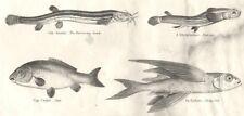 FISH. Abdominales Cyprinus. Cob. Burrowing Loach- eye; Carp; Flying  1880