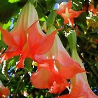 Red Angel Trumpets Datura Seeds 80 Seeds  --BUY 4 ITEMS FREE SHIPPING