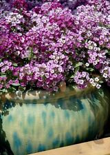 Alyssum Lavender Seeds- Sweetly Scented, Great Cover