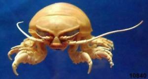 Giant Isopod Bathynomus doederleinii, large, 125 mm+ Taxidermy Oddities Curios