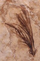 Fossil Bird Feather Fossil Lake Green River Formation Wyoming COA