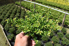 10 Ilex Crenata Glory Gem 20cm (Box Wood Replacement) 13cm Pot (Hedge Plants)