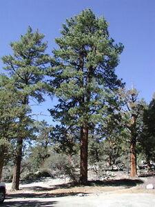 25 x Ponderosa Pine tree seeds, Blackjack Pine (pinus ponderosa) tree