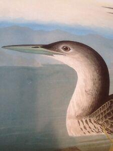 Common Loon Audubon Bird Print Picture Art Great Northern Diver