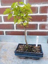 Feuerahorn, Acer ginnala, Jungpflanze, Bonsai