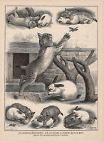 Tierfreundschaft Luchs Kaninchen HOLZSTICH von 1889 Zoo in Berlin