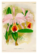Cattleya Mathonlae by Jean Linden Orchids A4 Art Print