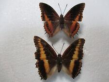 Entomologie Nymphalidae Charaxes eudoxus mechowi couple RCA