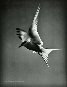 1950s Vintage ELIOT PORTER Tern Flying Sea Gull Bird Sky Photo Gravure Art 8X10
