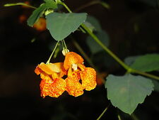 Jewelweed Impatiens Capensis Native for Hummingbirds 50 seeds  2017 Harvest !