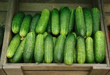100 Graines de Cornichon Concombre Dar,  Heirloom Cucumber Dar seeds