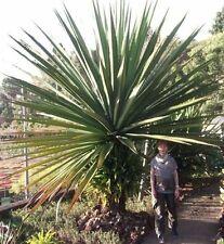 Yucca Aloif. Palme für drinnen hoch wachsende große Zimmerpflanze immergrün Deko