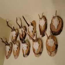 10-pc corna cervo su Legno Naturale Betulla PIASTRE TROFEO palchi