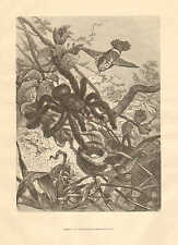 Birds Drive Tarantula From Their Nest, Vintage 1878 French Antique Art Print