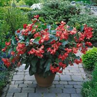 Begonia - Dragon Wing Red F1 - 10 Seeds