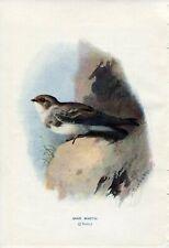 1901 SAND MARTIN BIRD Antique Print W.Swaysland