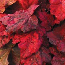 "heuchera AUTUMN LEAVES red villosa Coral Bells 2.5"" pot ☆1 Live Potted Plant☆"
