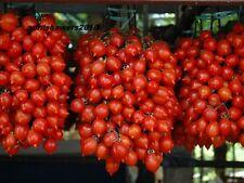 Tomato Piennolo del Vesuvio Italian Heirloom Seeds Organic NONGMO LONG KEEPING