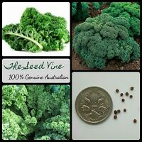 50+ DWARF GREEN CURLED KALE SEEDS (Brassica oleracea) Superfood Winter Vegetable