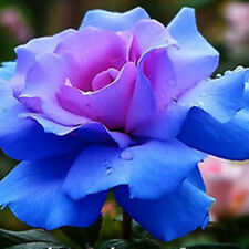 Free Shipping Blue Rosy Rose Flower 100 Seeds Plantlet Garden Home Fragrant