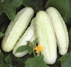 Seeds Cucumber White Angel Rare Pickling Vegetable for Planting Organic Ukraine