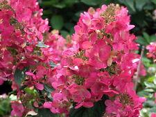 "Mega Mindyâ""¢ Hydrangea paniculata - Early Bloomer! - Proven Winners - 4"" Pot"