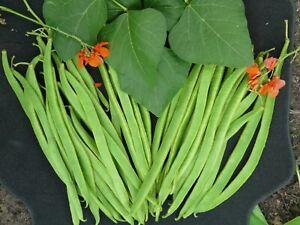 Quality Long British Runner Bean Seeds Achievement Variety Grow Plant Flower UK