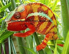 Hatch your own Chameleon Egg Live Lizard Reptile - Tyson